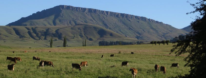 Cows grazing - Hogsback