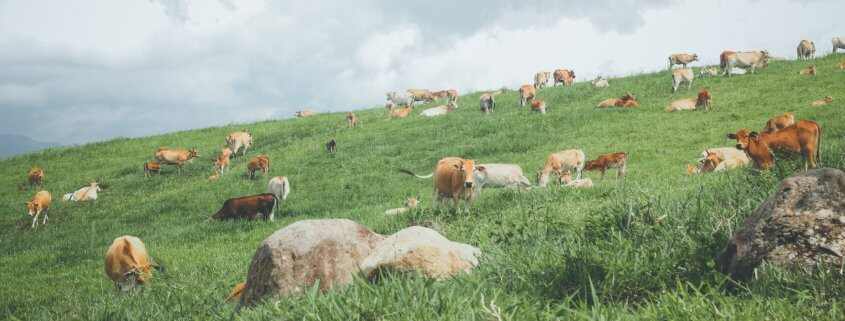 Cattle grazing in field